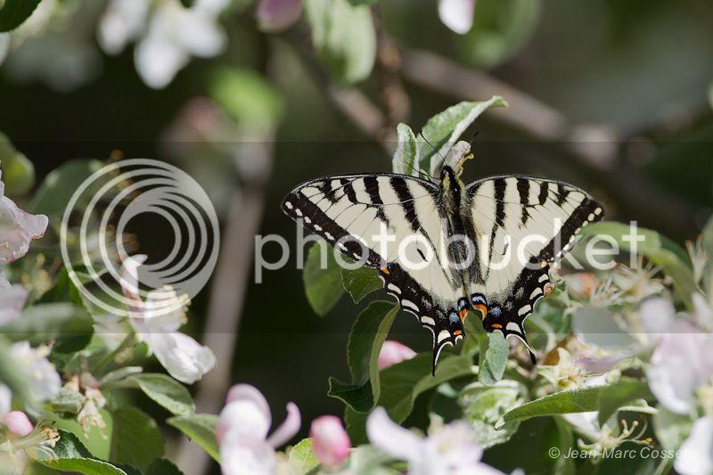 Papillon tigré du Canada PapillonTigre130527-8677_zps223eeacb