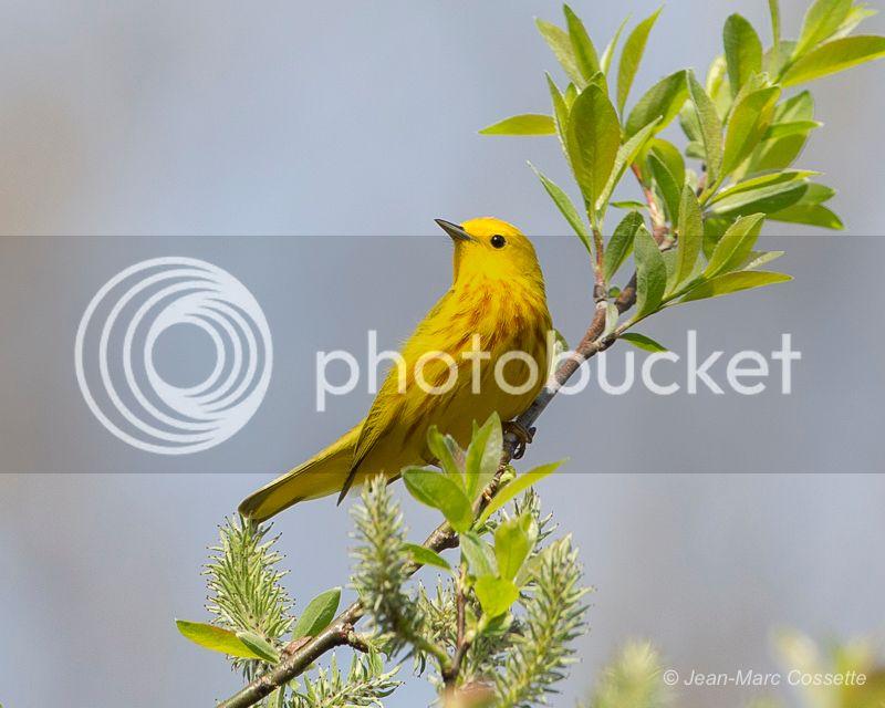 Paruline jaune ParuJaune-2_zpsbq4utr0d