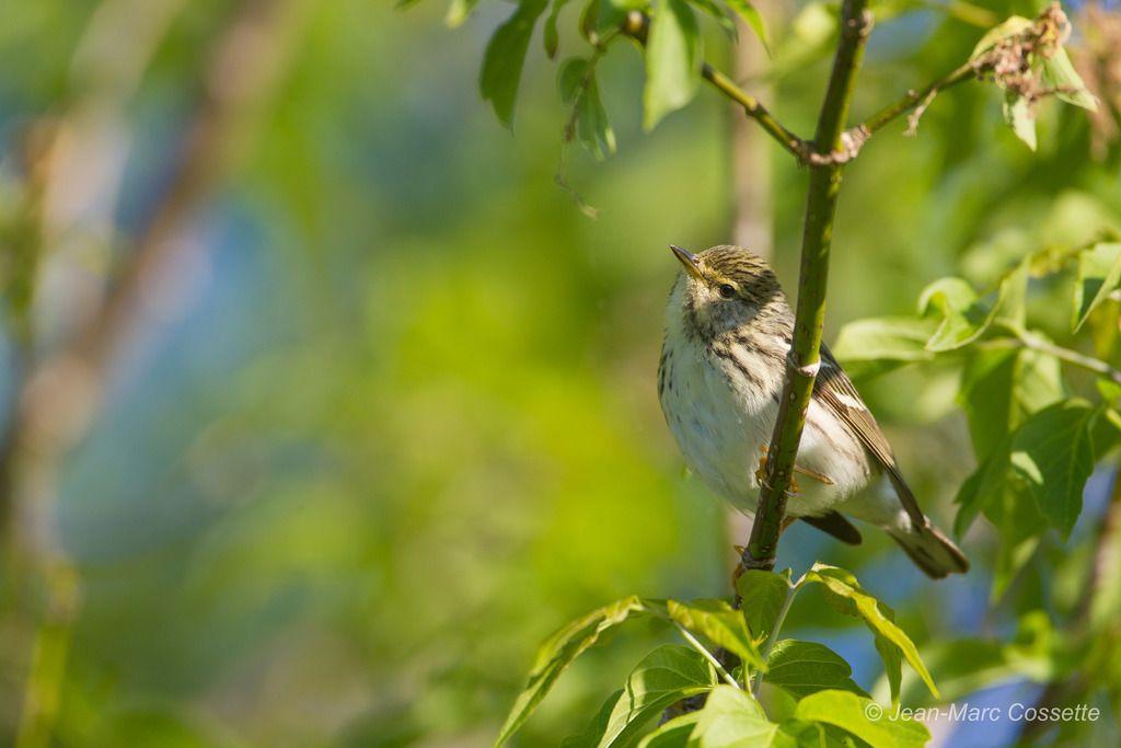Paruline rayée femelle ParulineRayee-9819_zpssntj5y5c