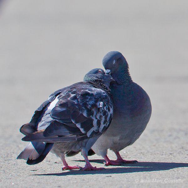 Les tourteraux  PigeonsAmoureux130916-3807_zpsffd0ff42