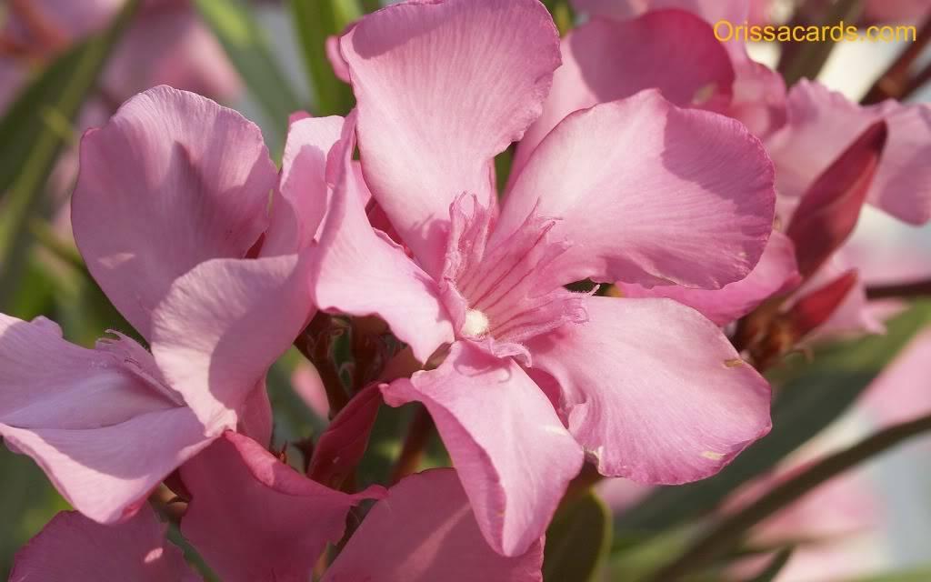 Flower Wallpapers  Flowers2