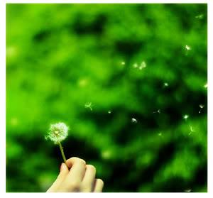 Bồ công anh... - by Amru-chan -  Yahoo 360 Dandelion2