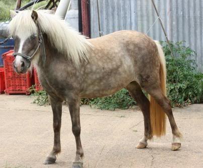 Sabino Taffy mare with blue eye IMG_4172