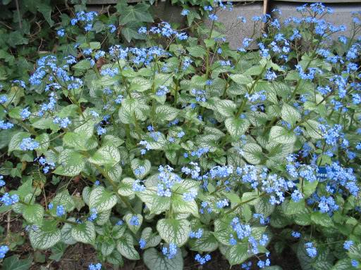PLANTAS PARA SOMBRA. Brunnera_macrophylla_Jack_Frost_-1