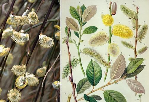 Vrba, različite vrste Salix-caprea-goat-willow-tree-irela