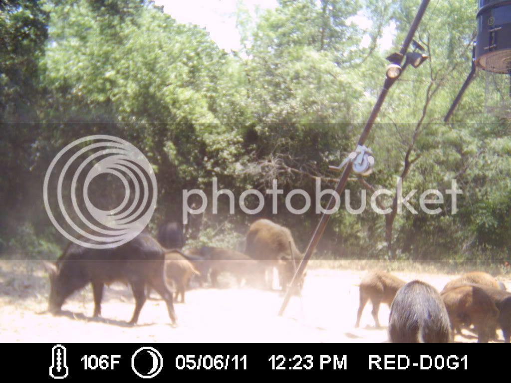PIG SHOW ... 009-5