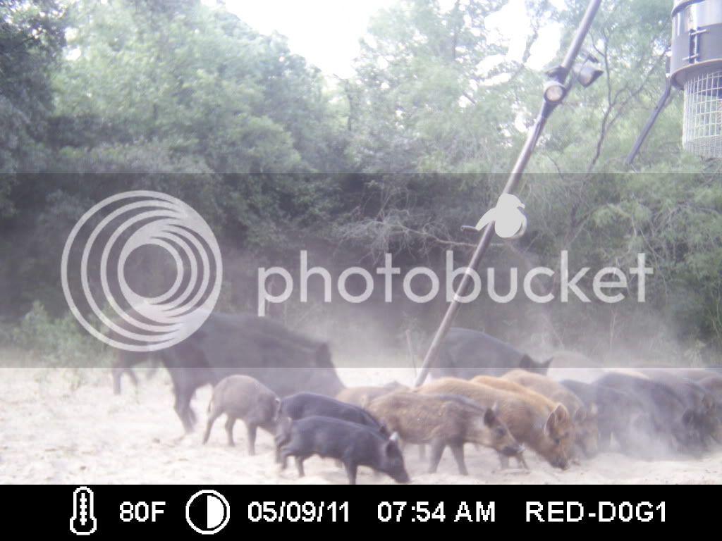 PIG SHOW ... 025