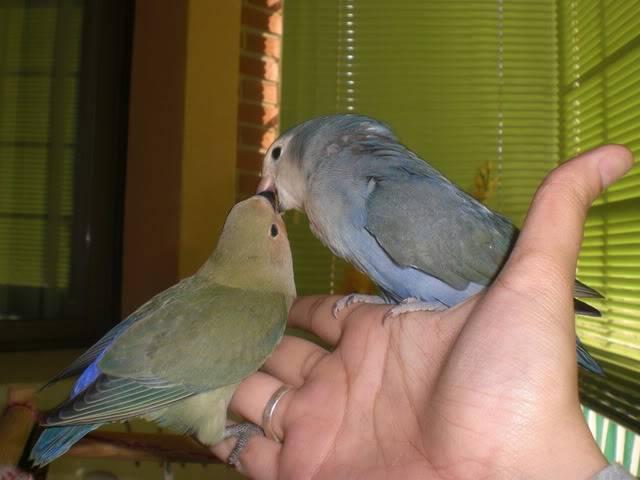 Mis agapornis y su nido con webcam en directo CIMG4091