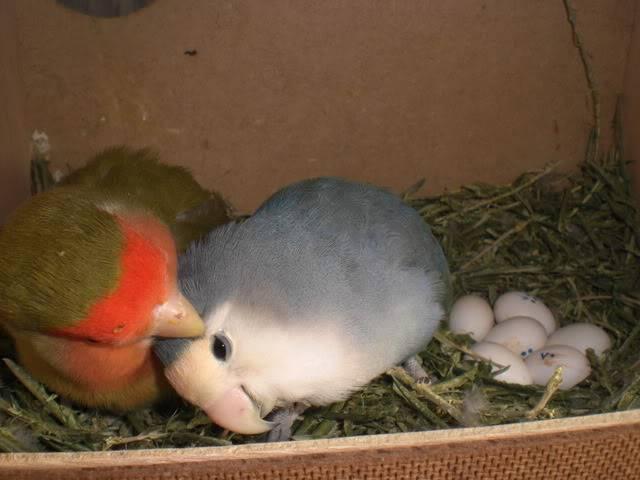Mis agapornis y su nido con webcam en directo CIMG5570