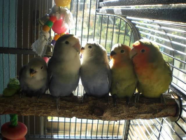 Mis agapornis y su nido con webcam en directo CIMG6000