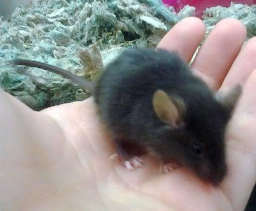 chinchilla Black_1