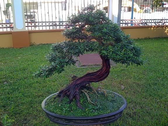 Bonsai no Vietnam... IMG_1528