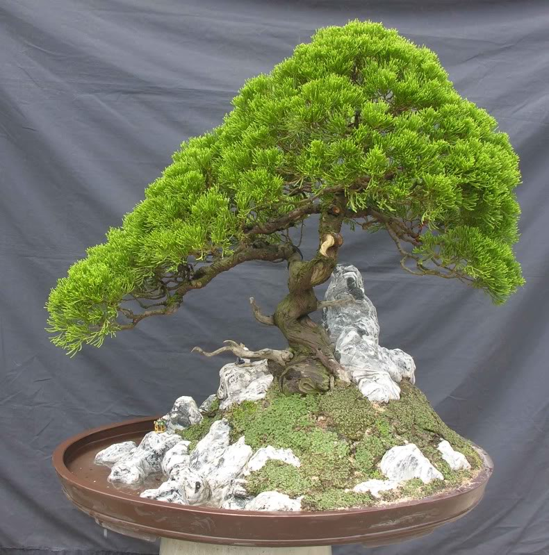 Bonsai no Vietnam... Dtungtc