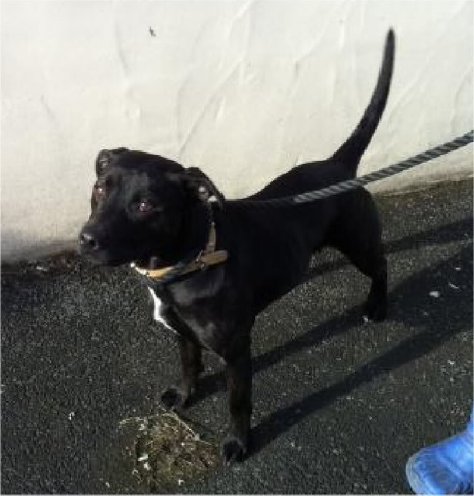 Dory 10 mth female Lab x Staffie DORY1