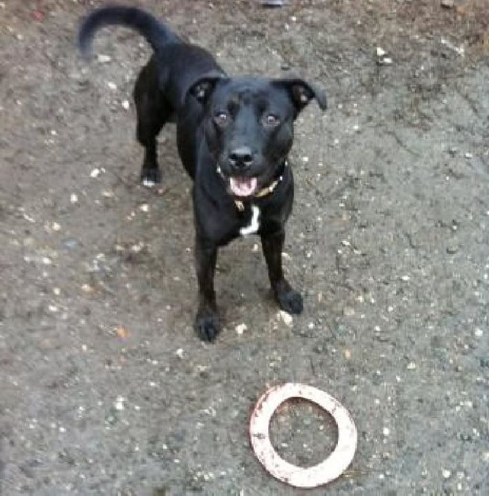 Dory 10 mth female Lab x Staffie DORY3