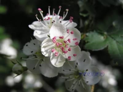 Ljekovito bilje Bijeli