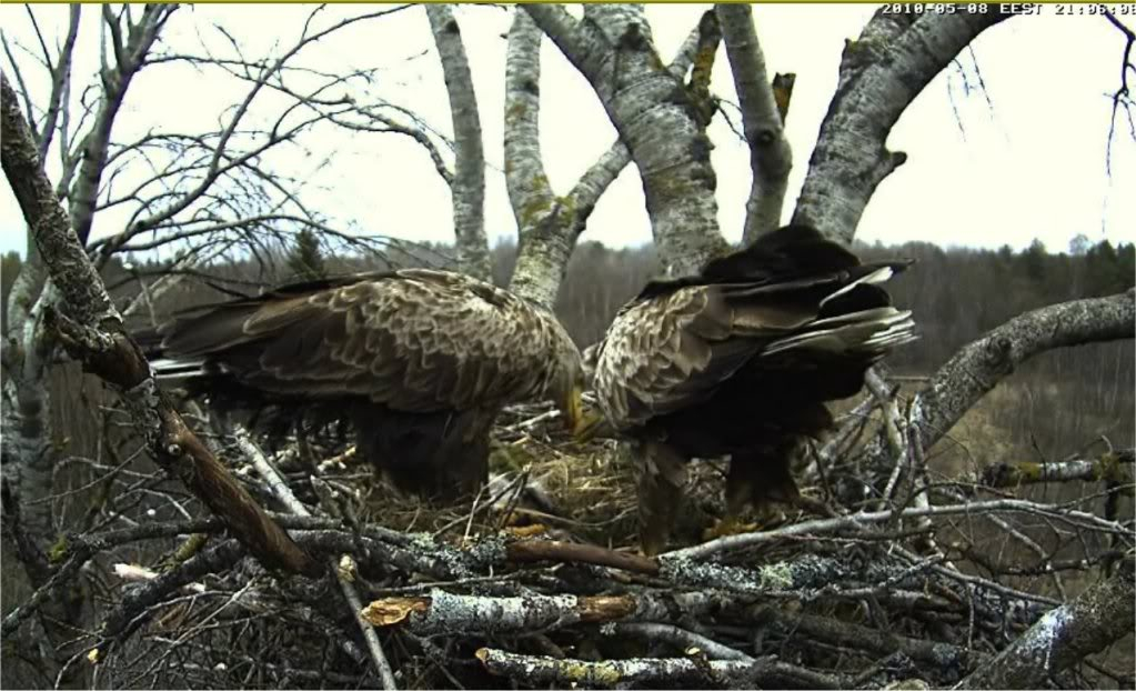 White-tailed Eagle Camera Lovers - Page 9 080510eaglesok