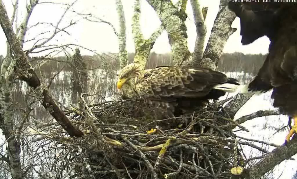 White-tailed Eagle Camera Lovers - Page 3 11033