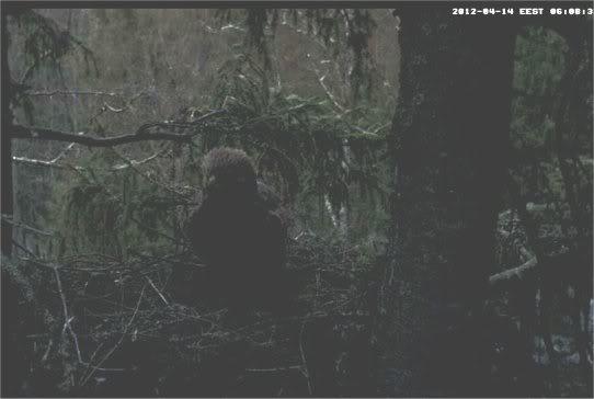 Estonian Lesser Spotted Eagle Cam 2012 140412lse1