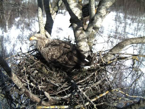 White-tailed Eagle Nest Camera 2011 1603111