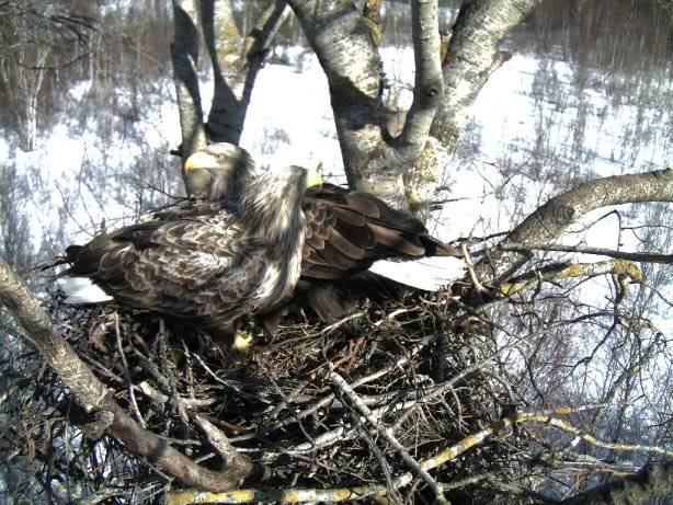 White-tailed Eagle Nest Camera 2011 1603116
