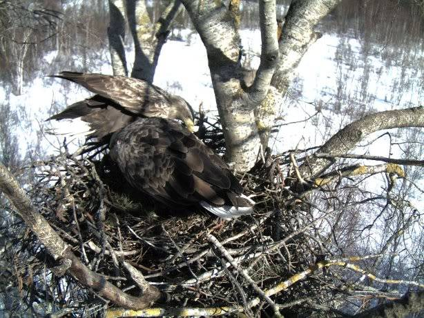 White-tailed Eagle Nest Camera 2011 1603117