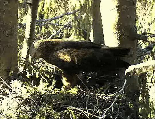 LESSER SPOTTED EAGLE CAM 2011 201104191840