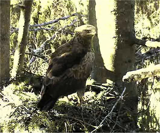 LESSER SPOTTED EAGLE CAM 2011 201104191842