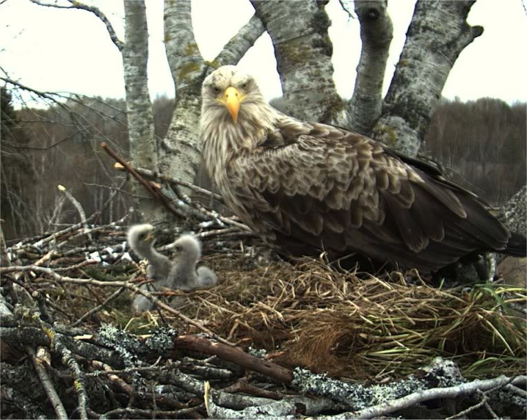 White-tailed Eagle Camera Lovers - Page 9 Chicks