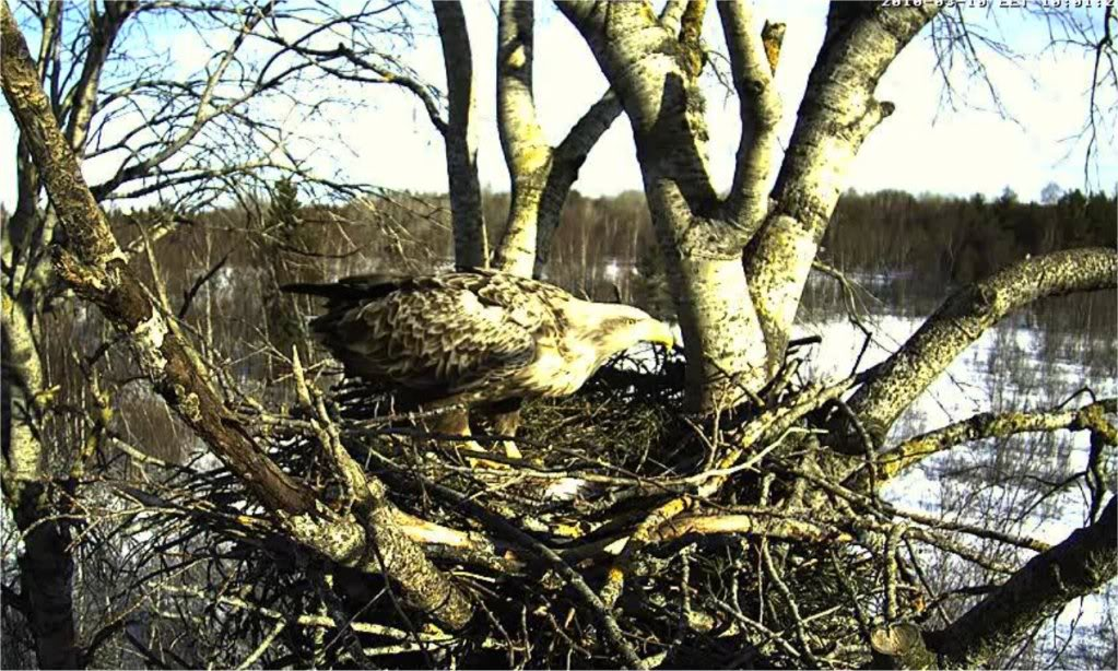 White-tailed Eagle Camera Lovers - Page 3 Comehomelinda