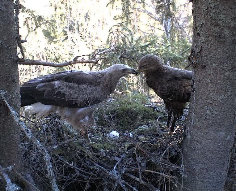 Estonian Lesser Spotted Eagle Cam 2012 Konnakotkaseggkiss