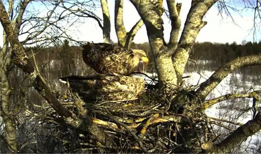 White-tailed Eagle Camera Lovers - Page 3 Lindahome