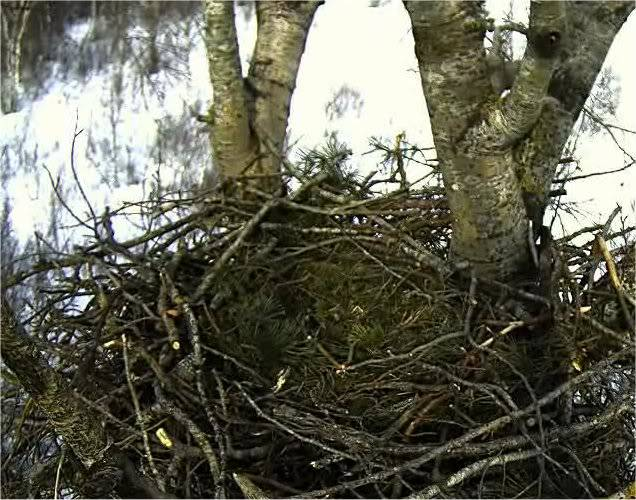 White-tailed Eagle Nest Camera 2011 Nest
