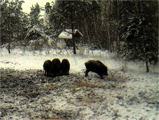 Boars cam, winter 2012 - 2013 - Page 2 Siga1