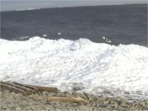 Grey Seal webcam - Page 14 Swans-2