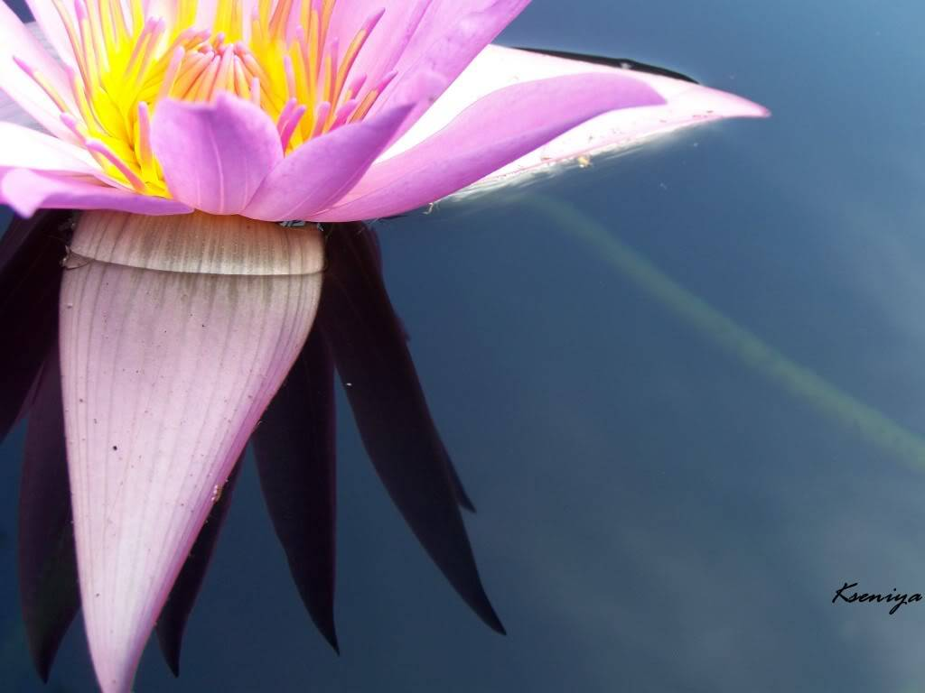 water lillies 100_5391