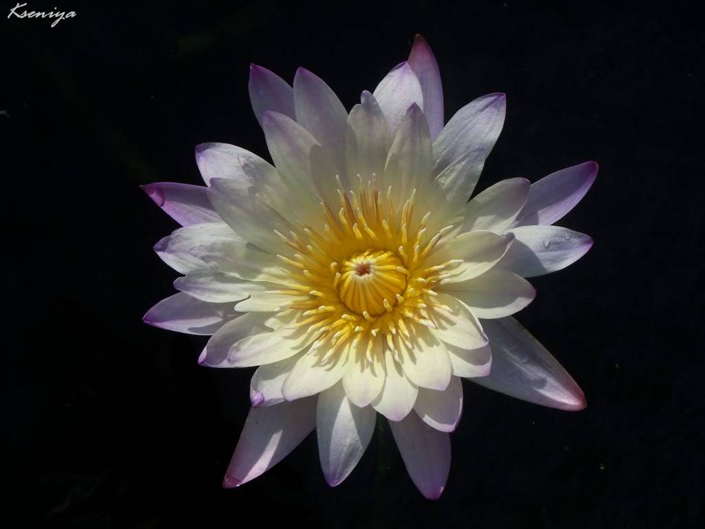 water lillies 100_5418