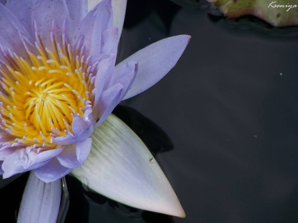 water lillies 100_5431