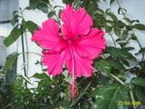 Hibiscus rosa sinensis El_capitolio