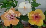 Hibiscus rosa sinensis - Pagina 7 Th_02_07