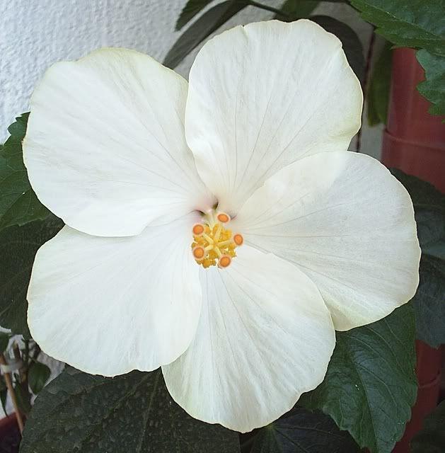 Japonezii mei forumul-florilor - Pagina 6 Th_SAN_REMO