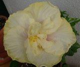 Hibiscus rosa sinensis - Pagina 5 Th_millenium
