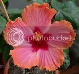 Hibiscus rosa sinensis - Pagina 5 Th_passion-1