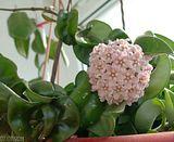 Flori de Hoya - Pagina 4 Th_krincle