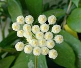 Flori de Hoya - Pagina 6 Th_lancunosa