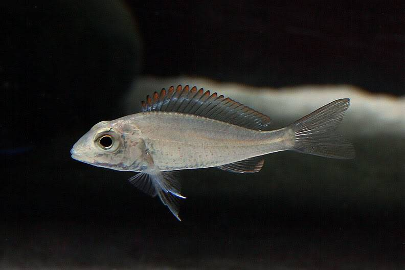 March 2010 Picture of the Month, DSLR Callaochromis-pleurospilus-1