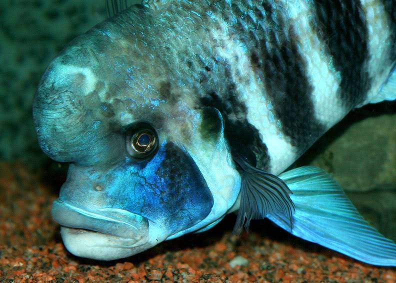 March 2010 Picture of the Month, DSLR Cyphotilapia-frontosa-Kigoma
