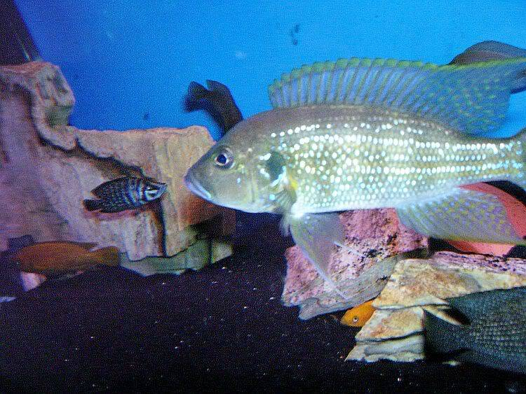 March 2010 Picture of the Month, Point & Shoot Greenwoodochromis