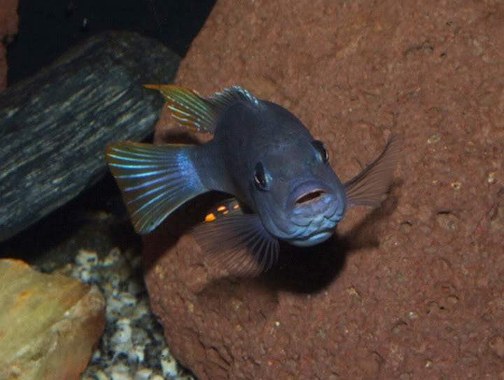 April 2010 Picture of the Month, Point and Shoot PseudotropheusgreshakeiIceBlue