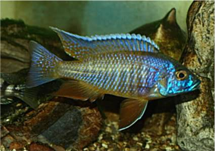 July 2010 Picture of the Month, DSLR Otopharynxdecorus